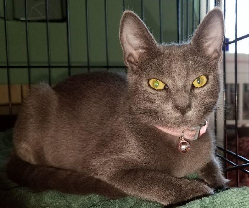 Rosie-russianblue-sibiling-CatPosse-adopt