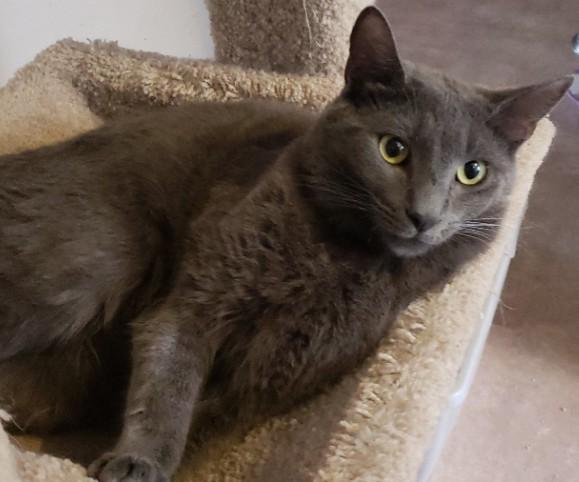 Rupert-russianblue-CatPosse-adopt