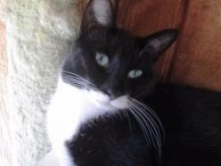 Pierre-dsh-tuxedo-CatPosse-specialneeds-adopt