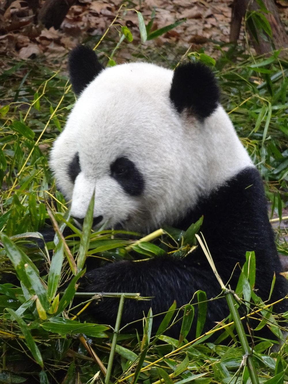 Panda Research Base, Chengdu, China