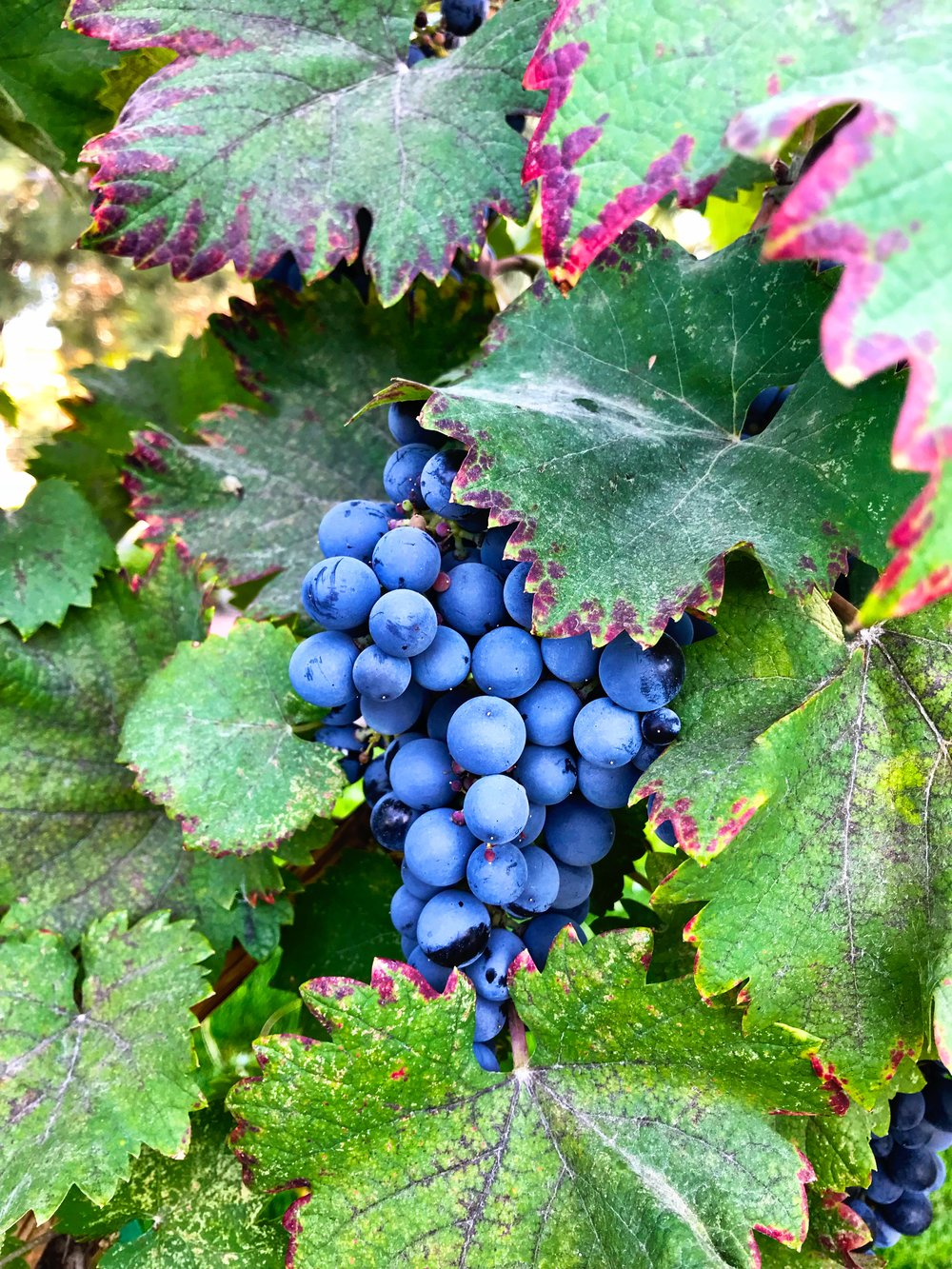 wine grapes, WA