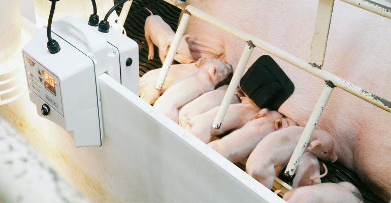 A farrowing crate with Swinetech installation monitoring for piglet distress.