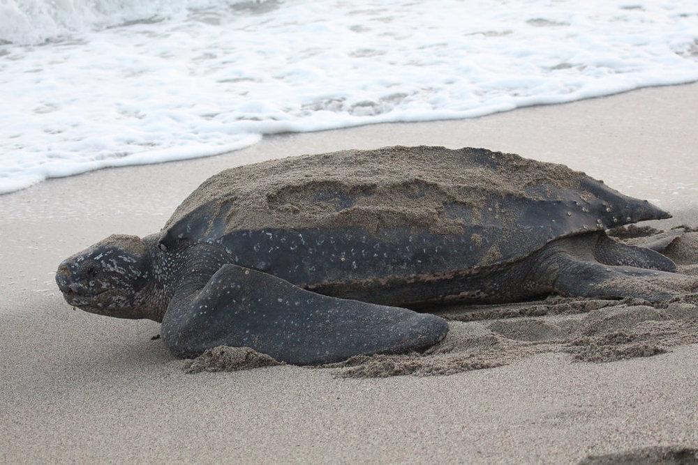 Leatherback-Turtle.jpg