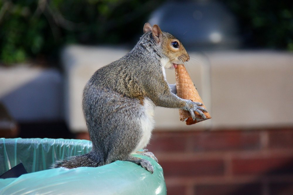 Squirrel_eating_an_ice_cream_cone_3558009610.jpg