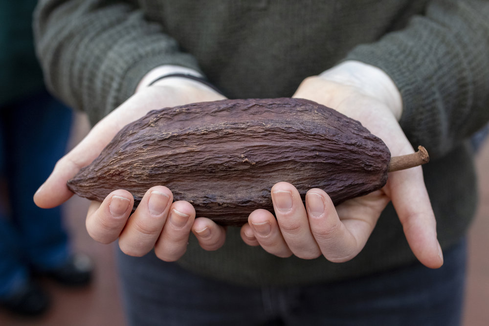Photo by Leta Dickinson.  A dried cacao pod.