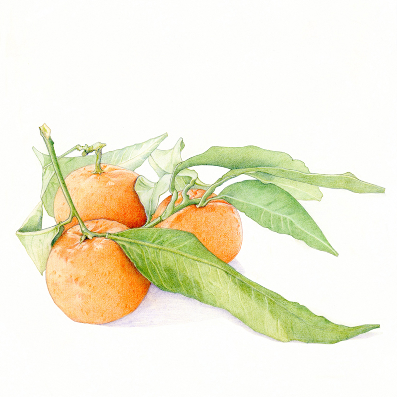 Clementines by  Floating Lemons Art