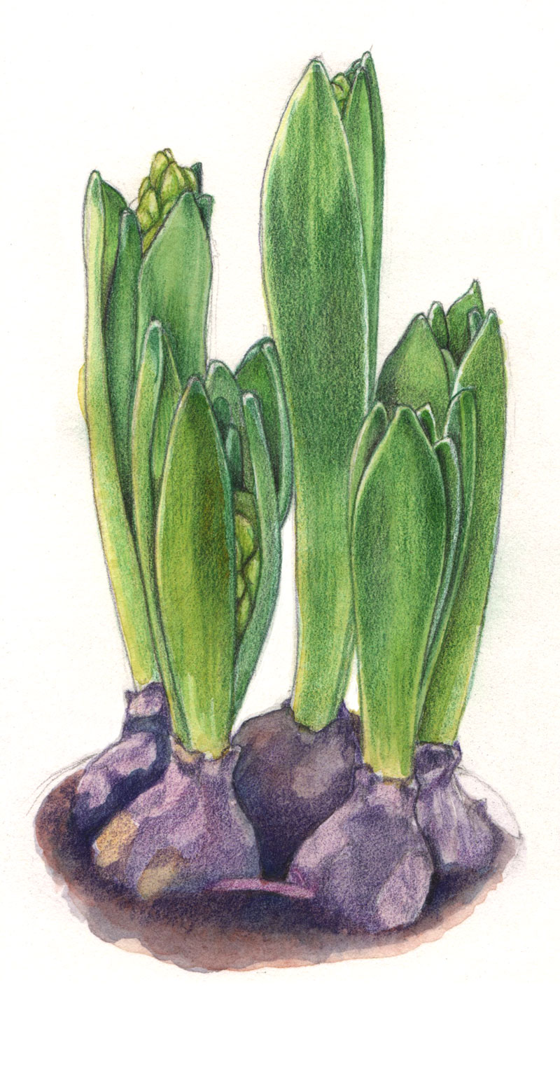 Hyacinth Blubs by  Floating Lemons Art