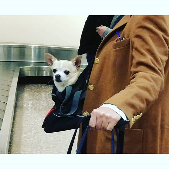 Spotted in Baggage Claim today. Strong travel-accessorizing game, IMO. 12/10, would carry suitcase for. @weratedogs #dogsofinstagram