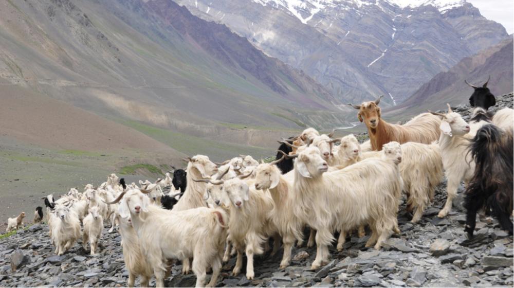 ORGANIC CASHMERE - MONGOLIAN HIRCUS GOATS