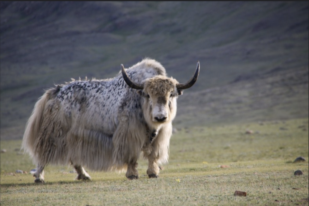 MONGOLIAN YAK -