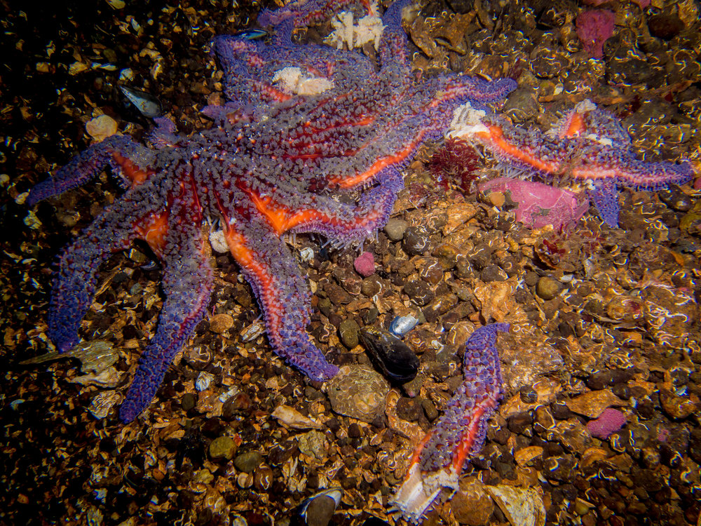Wasting sunflower sea star