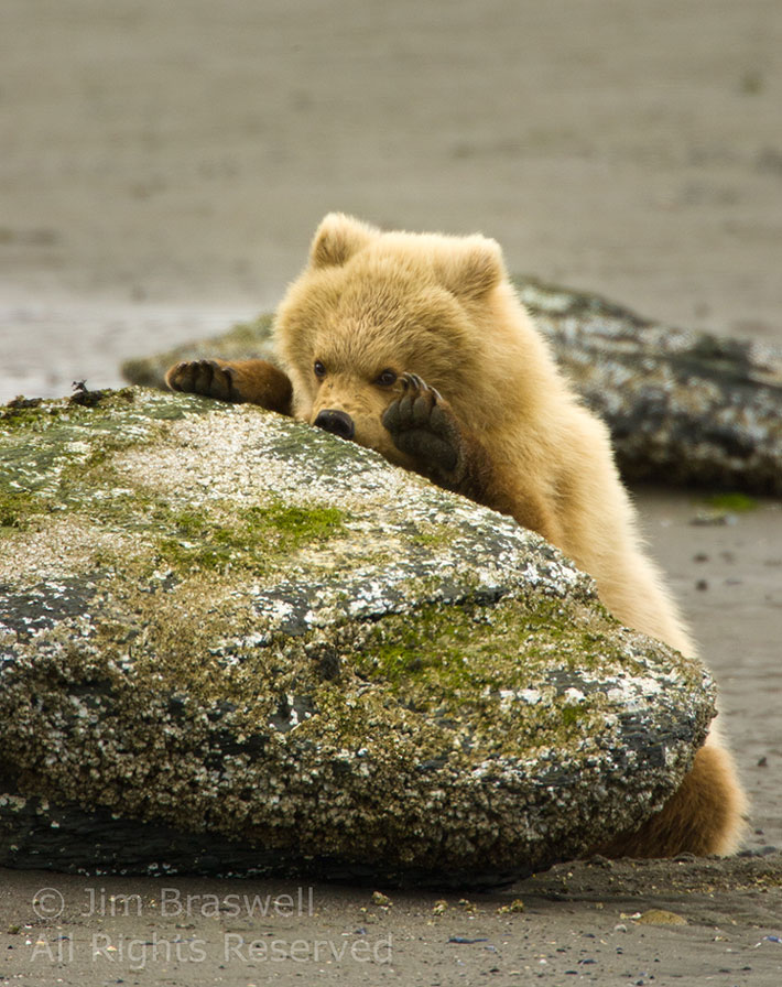 bear cub eating barnacles-Jim Braswell