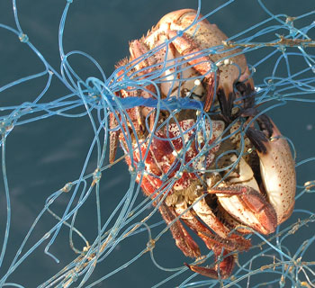 crab in net