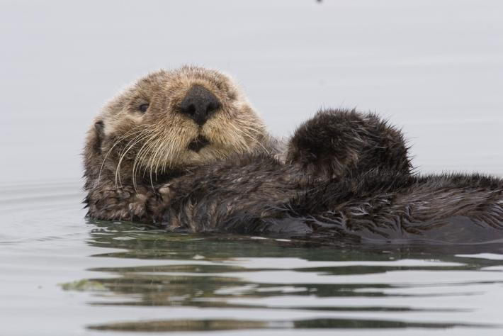 Sea Otter by Mike Baird