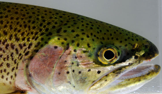 Coastal-Cutthroat-by-J.-Galasow-562-326 (1)