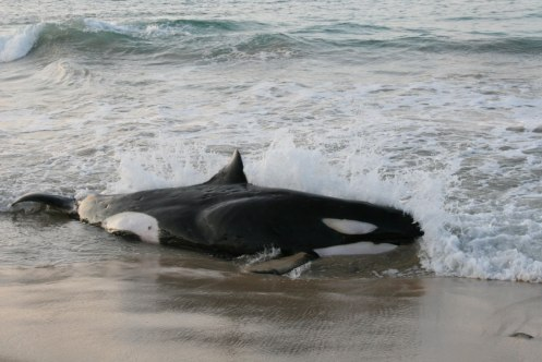 Live Stranded Killer Whale in Hawaii, Photo courtesy of Jessica Aschettino, NOAA/NMFS/PIRO Permit #932-1489-0