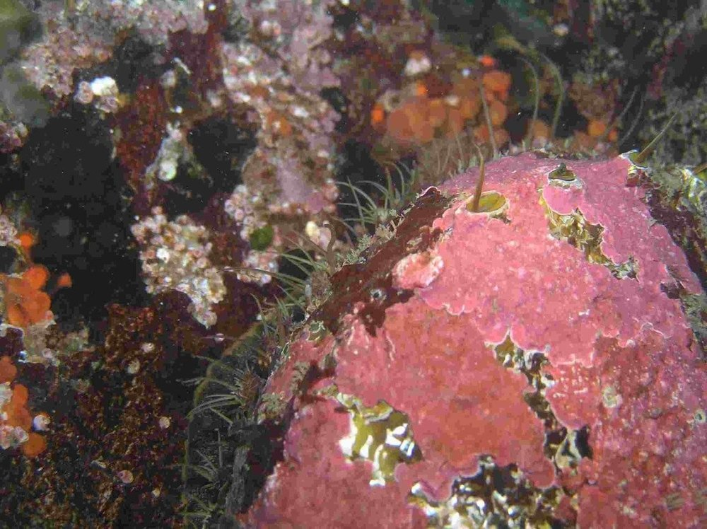 Fragmenting ecosystems by changing habitats or by changing populations reduces an ecosystems capacity to renew itself. Over-harvest of Northern abalone has left animals that are too spread out to mate successfully. Photo: N. Brown