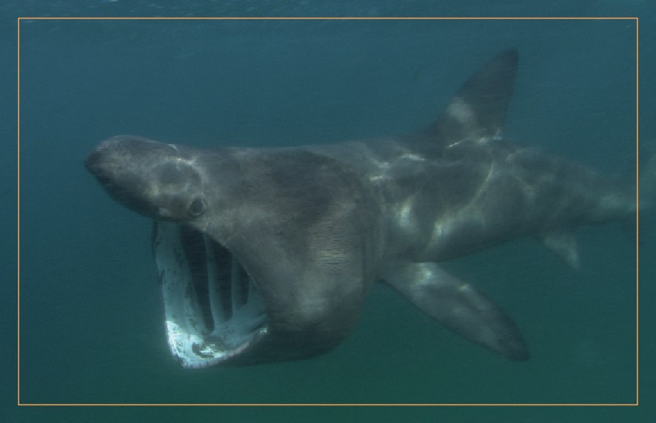 Basking shark copyright Florian Graner. Used with permission.