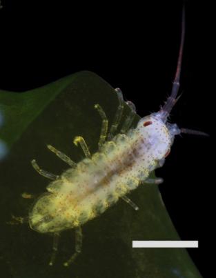Juvenile invasive isopod  Ianiropsis serricaudis on alga. Scale bar 0.3mm. Photo by Eric Lazo-Wasem, from Hobbs, et al., 2015