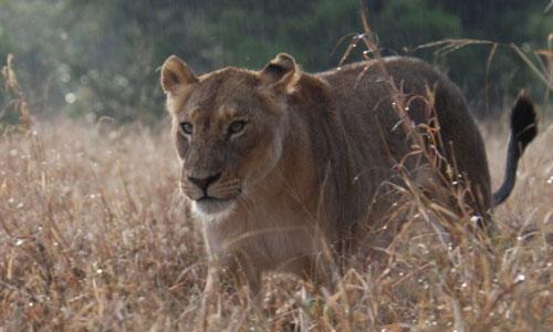 lion-j-gaydos-DSC_0059_2-500-300.jpg