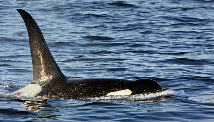 orca-kat-kellner-flickr-710-404