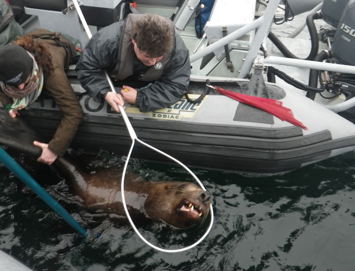 Dr. Lesanna Lahner from the Seattle Aquarium and Paul Cottrell of the Department of Fisheries and Oceans Canada keep the sea lion close to the boat. Photo: J. Gaydos