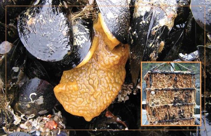 tunicatesWP-710-459