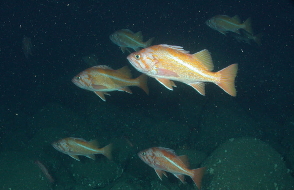 Canary rockfish photo by NOAA.