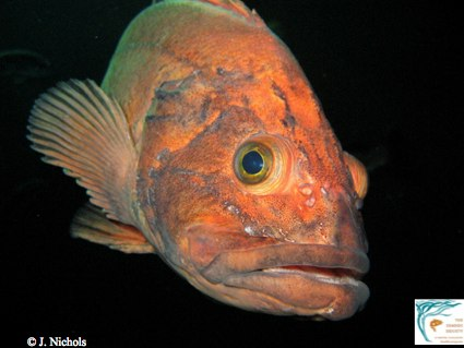 The yellow eye rockfish can live to be 118 years. Rougheye rockfish have been known to live 205 years.