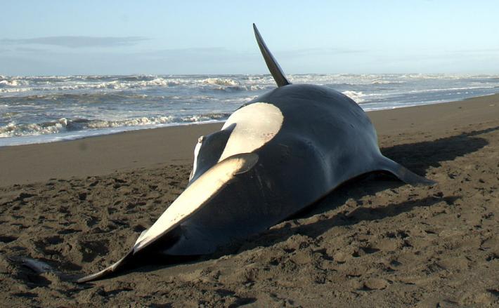 stranded killer whale
