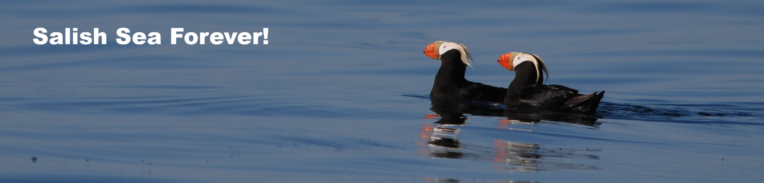 salish-forever-puffins