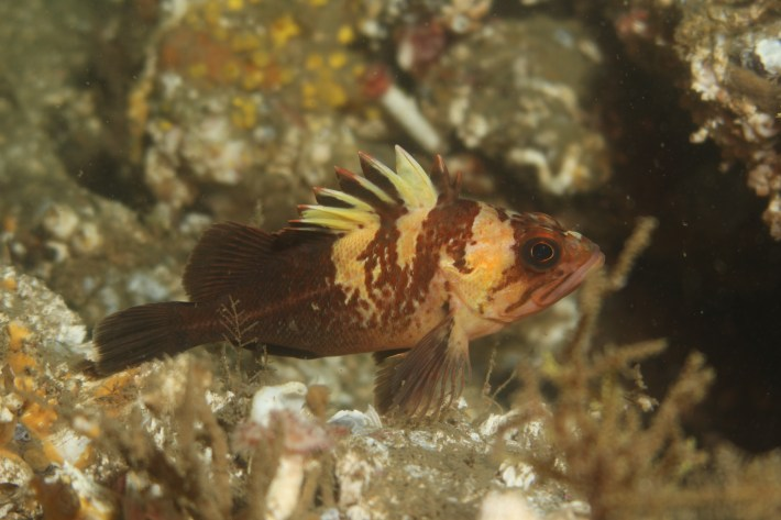 Quillback rockfish can live to be 90 years old.