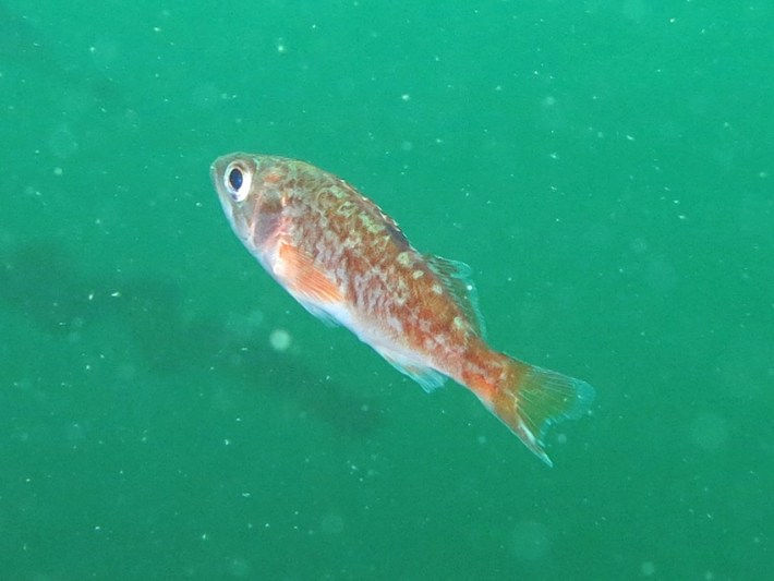 YOY rockfish