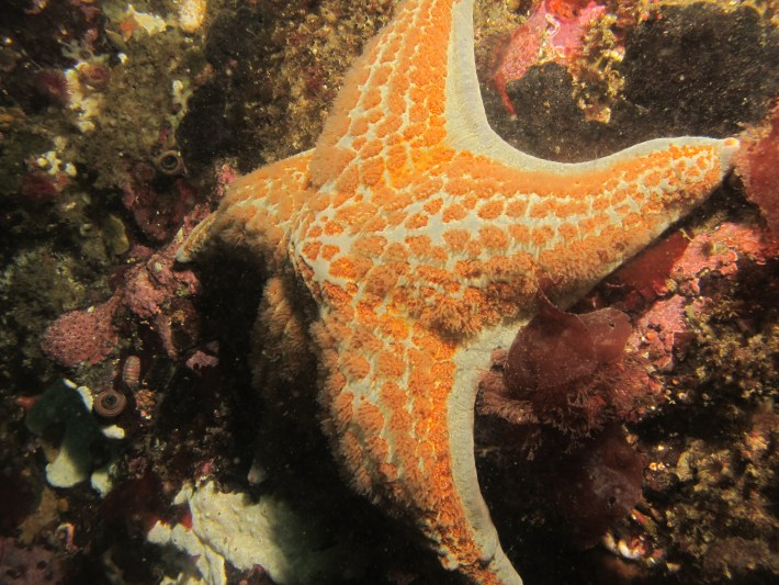 Leather sea star