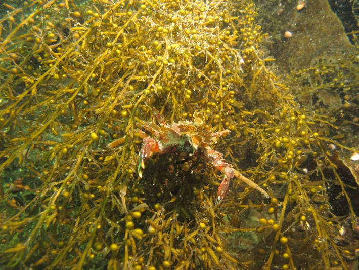 Decorator crab in invasive sargassum
