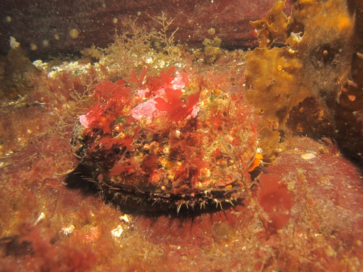 Northern abalone