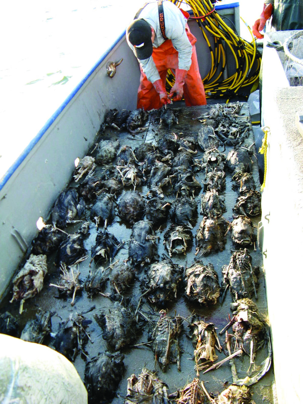 Bird-carcasses-lined-up-on-deck-2008_byNorthwest-Straits-Foundation.jpg
