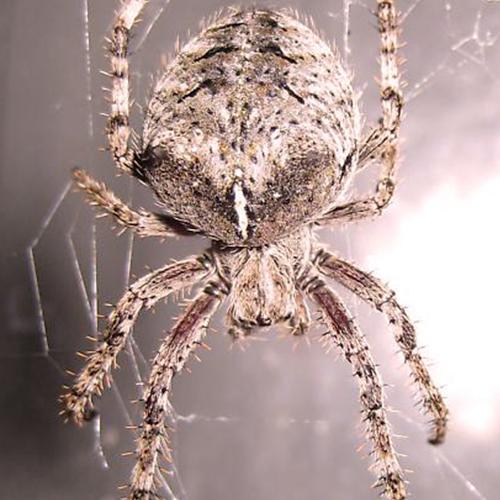Barn-Spider.jpg