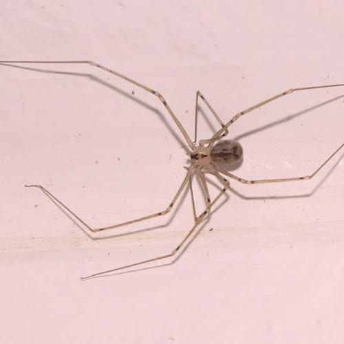 Round-Bodied-Cellar-Spider.jpg