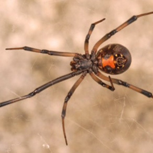 Southern-Black-Widow.jpg