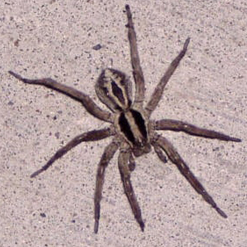 Two-Striped-Ground-Spider.jpg