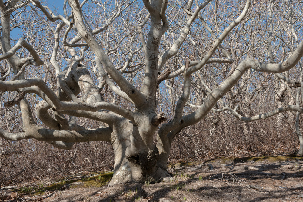 Beech Tree, Cedar Tree Neck Sanctuary, Martha's Vineyard