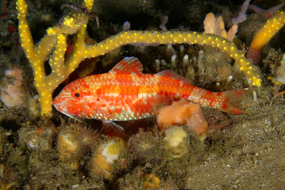 This recently described goatfish ( Parupeneus fraserorum )  fish was photographed at 60 m (ACEP Surrogacy Project)
