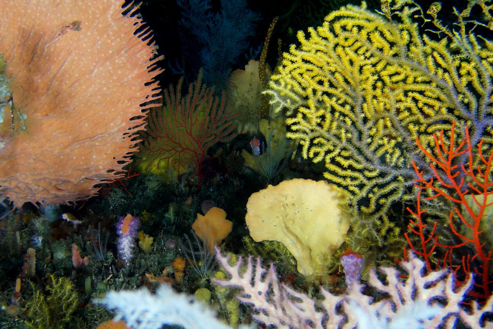 The deep reefs of Aliwal Shoal support an incredible diversity of soft corals and sponges, which have interesting compounds that are being explored for use in medicines (ACEP Surrogacy Project)