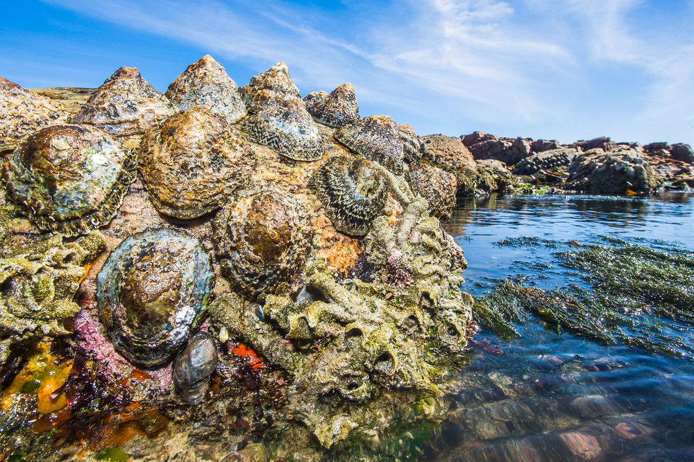 These giant Argenvilles limpets are endemic to the west coast of South Africa (Peter Chadwick)