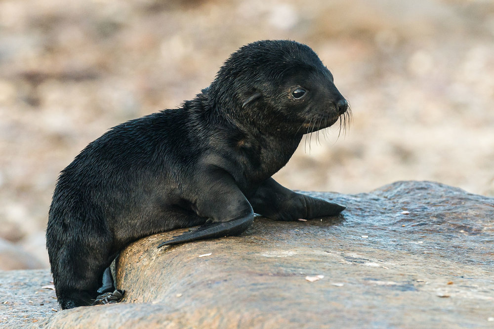 A cape fur seal pup looks out over the colony near Boulder Bay (Peter Chadwick)