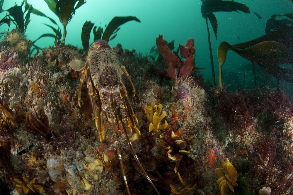 Kelp forests provide vital refuges for the overexploited west coast rock lobster (Steve Benjamin)