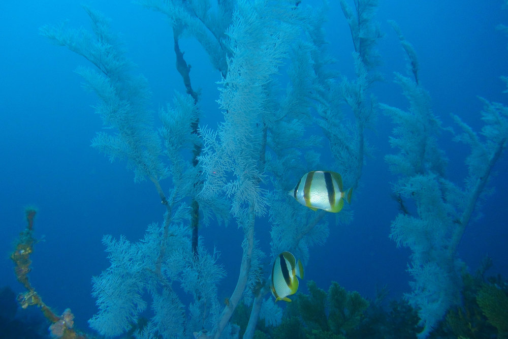 Butterflyfish and Black Corals