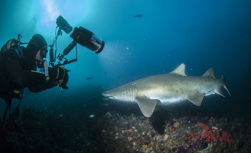 Raggedtooth Sharks