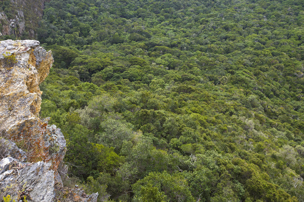 One hundred million years ago the west coast of South Africa used to be covered in forests of yellowwood trees (Otto Whitehead)